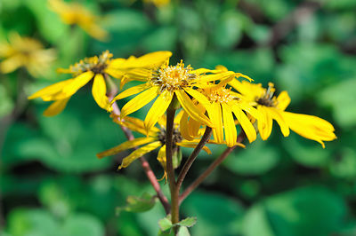 Fleurs de Ligulaire