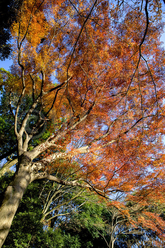 _W_P345-Tokyo-park-momiji-red-leaves-tree