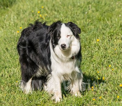 Border_Collie-Possum-7646_May_03_2017_NAT_WHITE