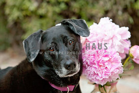 Cute-Black-Dog-Looking-at-Camera-With-Pink-Peony-Flowers-For-Spring