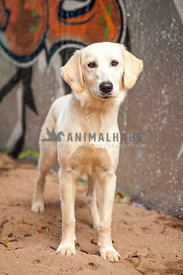 Golden Retriever puppy mix standing in front of graffiti wall