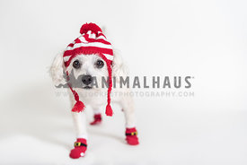 Fluffy dog wearing red striped elf hat and santa socks