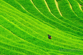 Hmong Woman Working Lush Rice Paddies