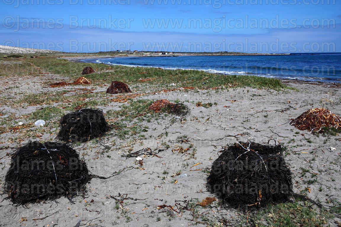 Seaweed piled up on beach awaiting collection , Llanos de Challe National Park , Region III , Chile