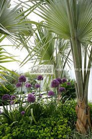 Massif, Style exotique, Sabal minor (sabal nain), Dwarf palmetto, Palmier rustique (-20 °C), Allium 'Purple Sensation' (ail d...