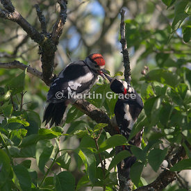 Fledgling Great Spotted Woodpecker (Dendrocopos major) (left) being fed by its male parent in a garden Lilac tree, Cumbria, E...