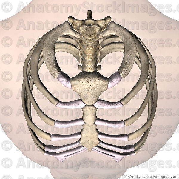 torso-ribcage-ribs-costae-costal-first-1th-rib-costotransverse-costovertebral-joint-sternum-no-disc-front-skin