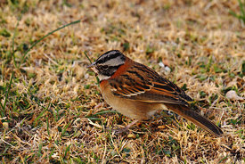 Rufous collared sparrow (Zonotrichia capensis)
