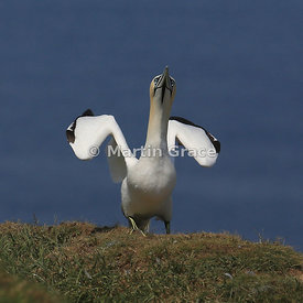 Northern Gannet (Morus bassanus) about to take off, Bempton Cliffs (RSPB), East Riding of Yorkshire, England