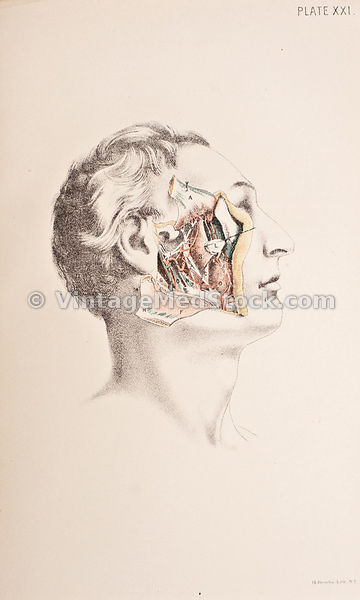 Anatomy of the Side of the Human Face
