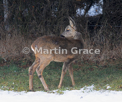 Roe Deer (Capreolus capreolus), April 4, Cairngorm National Park, Badenoch, Scottish Highlands