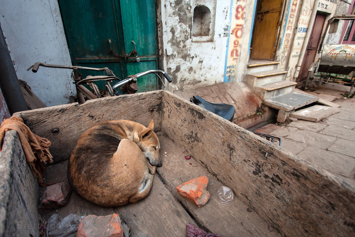 A stray dog sleeps in a wooden cart, Varanasi, India.