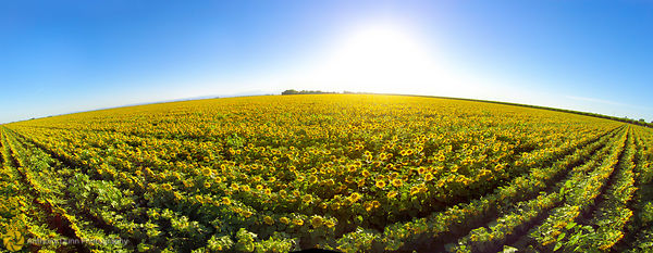 Aerial Panorama of Sunflower Fields #1