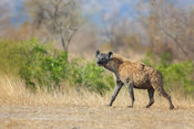 Hyena, South Africa