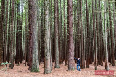Tourist near big tree in the Redwood forest, Rotorua, New Zealand