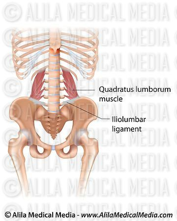 Le muscle quadratus lumborum