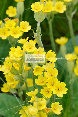 Primula veris (Primevère officinale), vivace herbacée, Paysagiste : Niall Maxwell, Dublin, Irlande