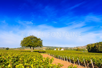 Vineyards of Frontenas in Beaujolais land