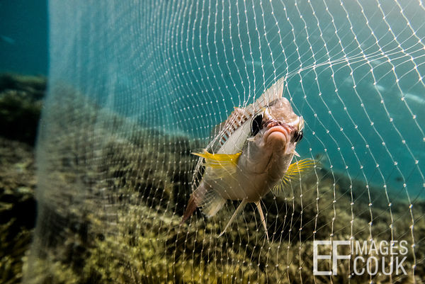Fish caught in a net on a coral reef off the coast of Sabah, Malaysia, 2018