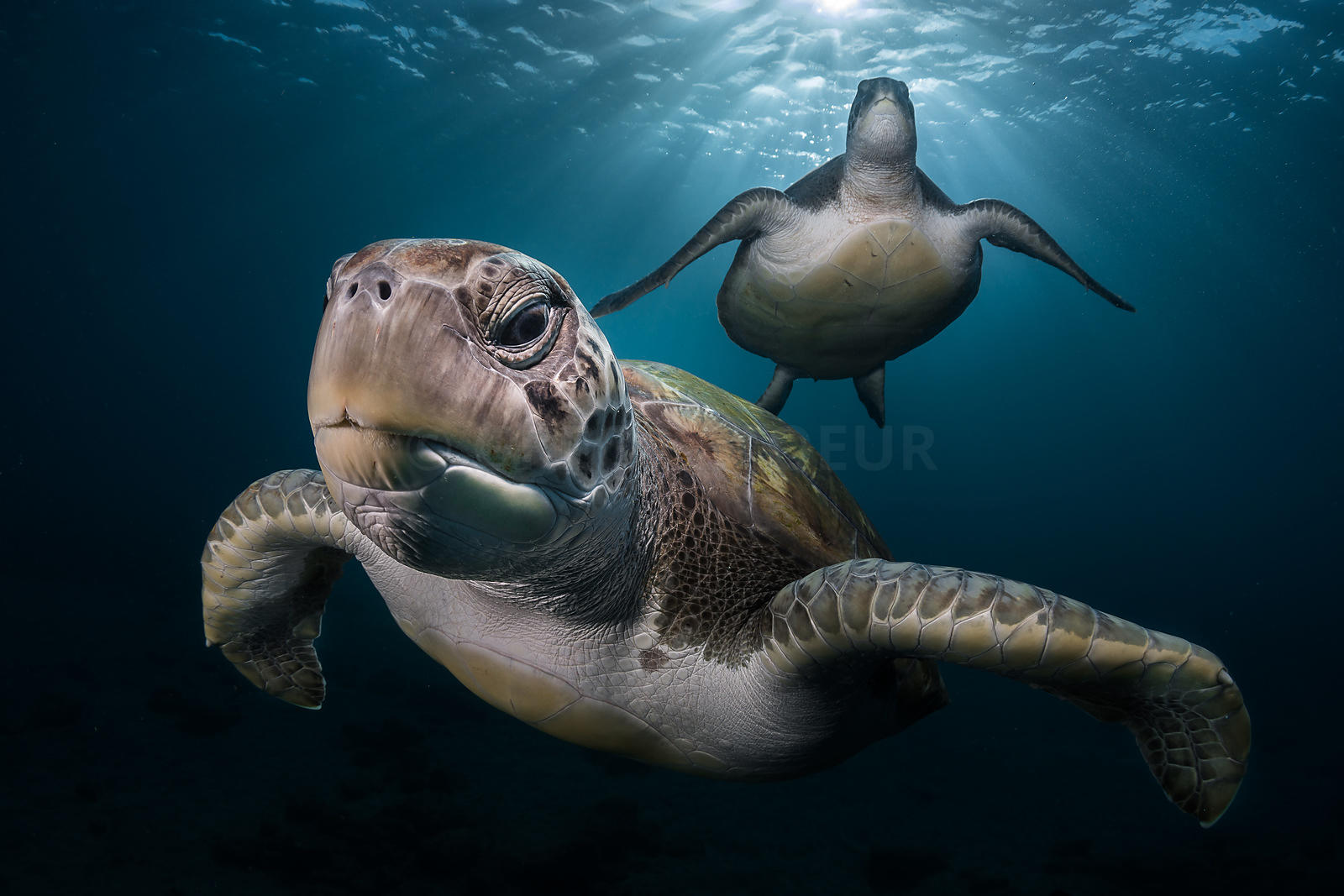 During a scuba diving in Tenerife, I crossed the way of these green turtles. It was early morning and the sunbeam was pierced...