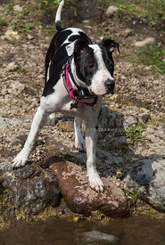 young black and white Pit Bull Terrier on wet rocks beside a river