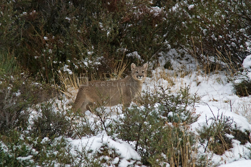Puma (Puma / Felis concolor) cub standing among bushes in the snow, Torres del Paine National Park, Chile, July