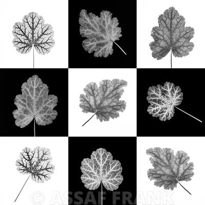 Heuchera leaf collage