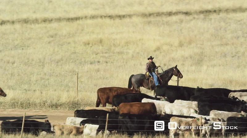 A pair of cowboys drives a small herd of cattle down a road in the Madison Valley in southwestern Montana