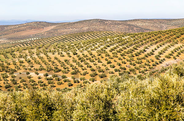 Olive trees in Andalucia