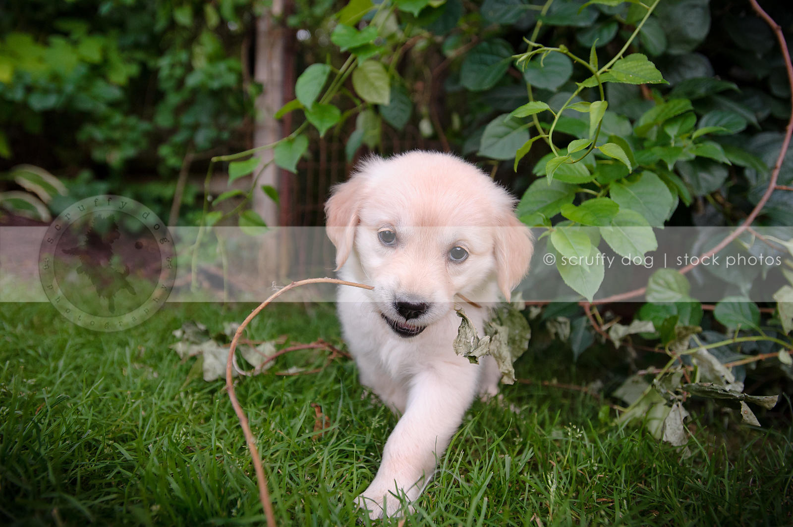 Stock Photo cute golden retriever puppy chewing twig in
