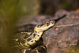 ecailles-photo de serpent - photos reptiles-pierre vergnaud-48