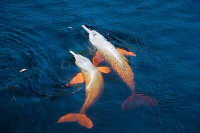 Two Amazon river dolphins / Botos (Inia geoffrensis) in flooded rainforest, Ariau River, tributary of Rio Negro, Amazonia, Br...