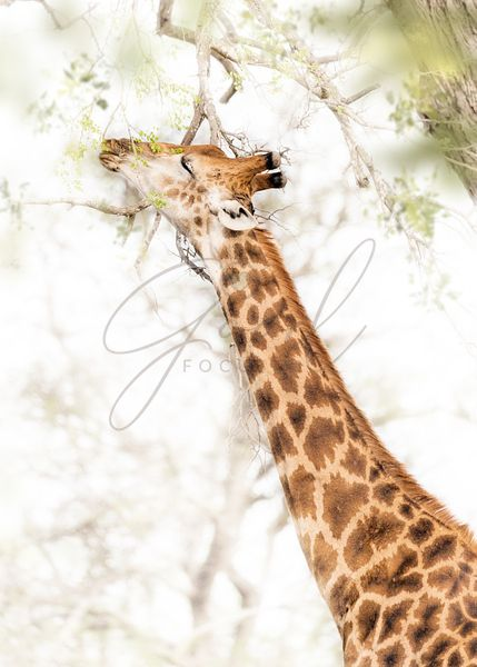 Giraffe Grazing From Tree in South Africa