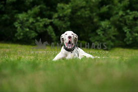 Great Dane on Grass