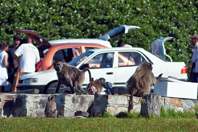 Chacma baboons from the Buffels Bay troop sit near cars where picnicers are packing up their food, Buffels Bay, Cape Peninsul...