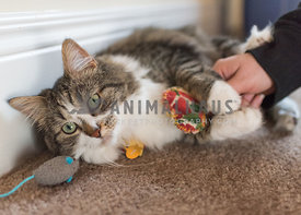 long-haired cat with two cat toys