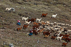 Quechua girls wearing traditional dress herding llamas (Lama glama) and sheep across hillside, Cordillera Apolobamba , Bolivia
