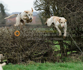 Cottesmore hounds jumping the first hedge