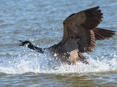 Canada_Goose-untitled2017-23-March_04_2017