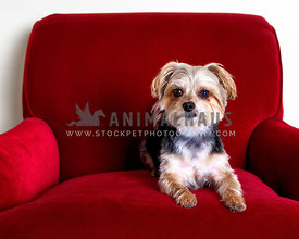 yorkie mix sitting on plush red chair in studio
