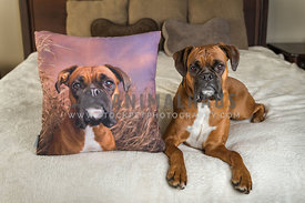 Boxer on bed with photo pillow