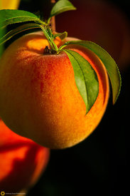 Ripe Peaches on the Tree #5