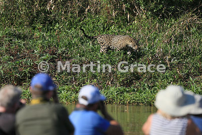 Male Jaguar (Panthera onca) known as Marley works his way along the side of the River Cuiabá while being watched by ecotouris...