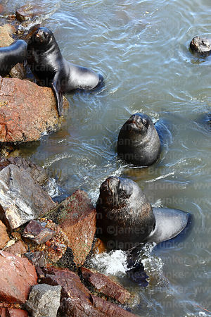 South American sea lions (Otaria flavescens) resting