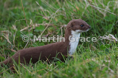 Weasel (Mustela nivalis), South Walney Island, Cumbria