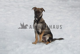 Husky German Shephard mix dog in snow