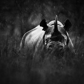 7744-White_rhino_under_the_rain_Laurent_Baheux