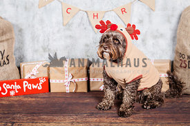 cockapoo in christmas reindeer costume