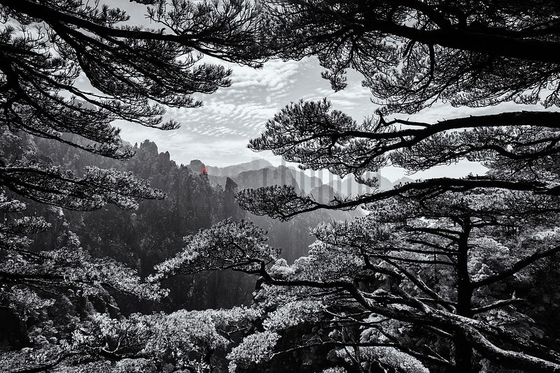 "Huangshan Pines on the Edge of the ""Grand Canyon"""