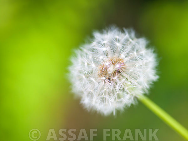 White dandelion with seeds